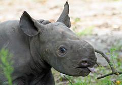 zwate neushoorn Akili geboren 6-8-2012 berlin zoo IMG_1927 (j.a.kok) Tags: rhino blackrhino neushoorn zwarteneushoorn puntlipneushoorn