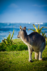Meeting on the beach (Nuxis [Davide]) Tags: blue sea green animal animals mare wildlife sony kangaroo nsw newsouthwales incontri animali animale a77 canguro alpha77