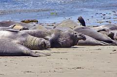 California Big Sur 65 Elephant Seals, Elephants de Mer (paspog) Tags: california usa unitedstatesofamerica bigsur pacificocean elephantseals seaelephants ocanpacifique elphantsdemer