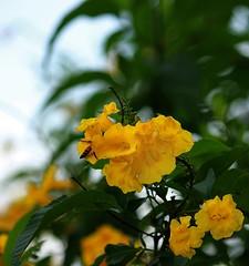 Yellow Beauty. (vanila balaji) Tags: india yellow canon eos flora bangalore yellowflower bee nectar karnataka yellowandgreen vanila canon550d vanilabalaji