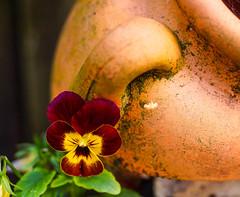 Pansy (Bev Goodwin) Tags: england flower liverpool garden terracotta pansy merseyside wonderfulworldofflowers sonya37