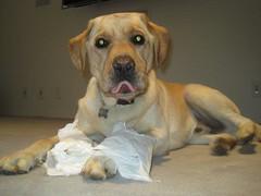 7915350818 34ae3842fe m Hercules, Photos of my fun Yellow Labrador