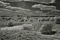 Infrared Heatherfield (Kim van Dijk photography) Tags: bw netherlands field landscape heather hei veld veluwe posbank heide infrarood kimvandijk