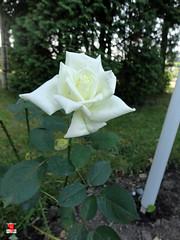 Roses - Hybrid tea rose 'Lily Pons' - Rosaceae SC20120826 297 (fotoproze) Tags: roses canada rose quebec montreal rosen gl rosas rozen 2012 roser    rosor mawar jardinbotaniquedemontral rsir re re  montrealbotanicalgardens trandafiri arrosak ruusut hoahng   princessgraceofmonaco     rue    rzsk queenrose vrtnice ris  rhosynnau