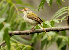 The Common Tailorbird (Orthotomus sutorius) (Raghuvir solanki) Tags: thewonderfulworldofbirds allofnatureswildlifelevel1 allofnatureswildlifelevel2 allofnatureswildlifelevel3 allofnatureswildlifelevel4 allofnatureswildlifelevel5 allofnatureswildlifelevel6