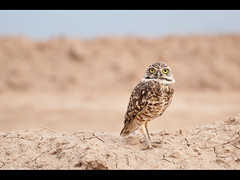 Burrowing Owl (Muzzlehatch) Tags: california sea colorado desert salton