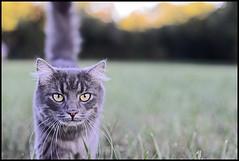 1694a (stuartkul) Tags: color digital cat nikon natur villa katze nikkor hermes kot d800 5018