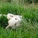 O pequeno leao branco (Foto Daniela)