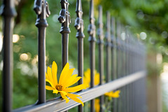 (*m22) Tags: flowers plants green colors yellow fence dresden repetition favs