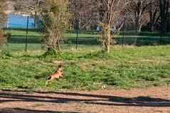 Luigi (Bumble BC) Tags: dog dogs animals australia canberra dogpark mammals luigi act familyfriends australiancapitalterritory lakeginninderra canislupusfamiliaris luigisfirstbirthday
