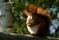 Squirrel With no Name (1) (Peter G Trimming) Tags: red squirrel wildlife centre surrey peter british trimming 2012 vulgaris newchapel sciurus