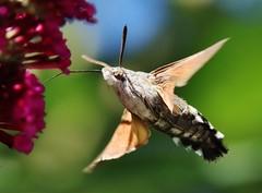 Here he is again... (Hugo von Schreck) Tags: macro insect outdoor moth makro insekt hummingbirdhawkmoth macroglossumstellatarum taubenschwnzchen buzznbugz yourbestoftoday tamron28300mmf3563divcpzda010 canoneos5dsr hugovonschreck