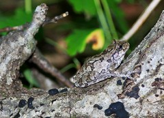 gray treefrog in Winneshiek Co. IA 854A3863 (lreis_naturalist) Tags: gray treefrog winneshiek county iowa larry reis