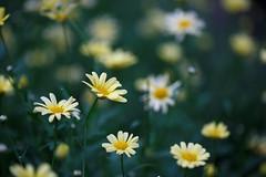 Field (ranzino) Tags: kennettsquare longwoodgardens pa flower
