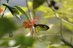 Ornithoptera paradisea ♂ (Hiro Takenouchi) Tags: ornithoptera nature insect birdwing butterfly butterflies papua schmetterling papilionidae indonesia