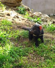 captive tasmanian devil - tasmania, australia 5 (Russell Scott Images) Tags: tasmaniandevilsarcophilusharrisii carnivorous marsupial tasmania australia