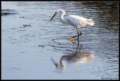 Great Egret (bob_sanderson) Tags: egrets