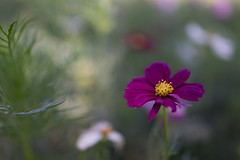 DSC02128 (Zengame) Tags: hamarikyu hamarikyugardens rx rx1 rx1r rx1rm2 rx1rmark2 sony zeiss cc cosmos creativecommons flower japan tokyo           jp