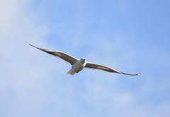 DSC_2715 (PeaTJay) Tags: nikond750 tamron reading lowerearley berkshire outdoors birds birdsofprey gull gulls
