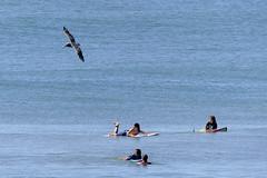 Boards and birds (shama rama) Tags: surfcity nc northcarolina topsail beach pelican waves surf bodyboard boogieboard