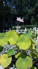 哈尔滨极乐寺 (陈霆, Ting Chen, Wing) Tags: 哈尔滨 哈尔滨极乐寺 极乐寺 荷花 lotus nelumbonucifera