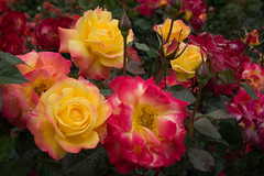 Beautiful Roses (fred.carter) Tags: garden travelling usa flora fredcarter northamerica rosebud overcast travel flowerbud vacation weather roses flowers plant