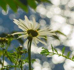 Light 4 Daisy. (Omygodtom) Tags: flower flickr daisy outdoors river willamette oregon nikkor lens bright natural nature d7100 nikon70300mmvrlens