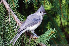 Juvenile Tufted Titmouse in Spruce Tree (--Anne--) Tags: titmouse titmice tuftedtitmouse cute bird birds photography animal wildlife nature