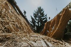 Till_Junker_20160914-_ILL4805 (scharfgestellt) Tags: reetdach reetdachdecker dachdecker handwerk stade reetdachdeckerjunker reetdachhaus junker stadehagen landkreis natur umwelt nature handmade