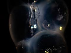 P8211353 (Jeannot Kuenzel) Tags: jeannotkuenzel jeannot kuenzel wwwjk4unet jk4u malta scuba under water underwater diving photography macro supermacro olympus epl5 zen port leica dg macroelmarit 45mm f28 asph ois inon z240 240z ucl165 s2000 moods aliensofthesea aliensofthedeepblue alien deep blue mediterranean sea maltaunderwater maltaunderwatermacro maltaunderwaterphotography bestmaltaunderwaterpictures maltamacro underwaterphotography maltascubadiving supermacrophotography underwatersupermacro underwateralien underwaterworld underwatercreature underwatermacro extrememacro superextrememacro