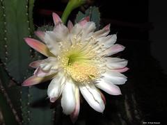 ER 160901 (39) (Paolo Bonassin) Tags: flowers cactaceae cactacee cactus succulente cereus cereusperuvianus