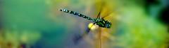 Dragonfly Blue Hawker (na_photographs) Tags: libelle insect insekt flying fliegend fliegen schweben colors colours bunt natur muster pattern farbig farbenfroh wunderdernatur