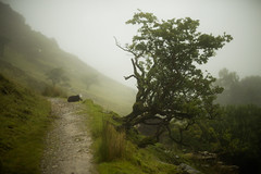 A Big Lean (Steve Vallis) Tags: wales snowdonia snowdon fog foggy mist rain clouds tree green