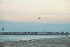 Soaring (Janine J. Nelson) Tags: seagul birds fly flying sunset beach shore nature seaislecity newjersey jerseyshore watertower ocean eastcoast