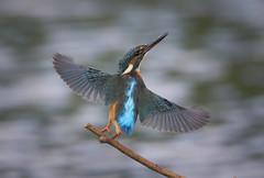 We have lift off! (Chris Bainbridge1) Tags: alcedoatthis common kingfisher norfolk
