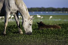 Motherhod (Osama Ali Photography) Tags:        horse horses caballo landscape marsh wildlife wild salvaje animal animals canon green verde fauna mother motherhood beauty spain espaa water nature natural natura naturaleza