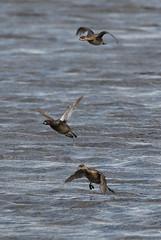 A Little Flight. (stonefaction) Tags: birds nature wildlife little grebe fife letham pools scotland