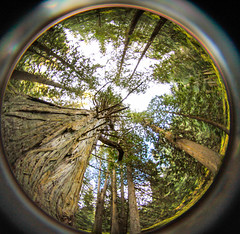 ancient forest  (62 of 151) (ve7org) Tags: ancientforest ancientcedars cedartrees parks trail
