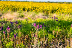 West Texas Morning (27 of 40) (mharbour11) Tags: wildcats elk purple sunrise westtexas texas sky windturbines windmill sun silhouettefire silhouette