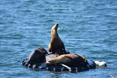 Catching some rays...sea lions at Monterey Bay (stevelamb007) Tags: california monterey montereybay sealion water stevelamb nikon d7200 nature wildlife sigma 150600mmc