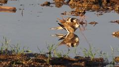 A deceit of lapwings. (ricmcarthur) Tags: charadriusvociferus killdeer lapwing migration ricmcarthur rickmcarthur rondeauric