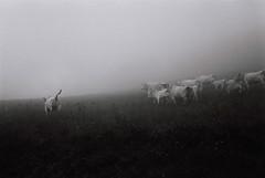 fog (simoncini.nicola) Tags: cow cows countryside blackandwhite film 35mm sonnar rollei 35 s sonnar40mmf28 ilford fp4 iso 125 elcito san severino marche monte vicino bianco e nero monochrome landscape fog foggy haze mist