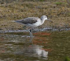 MRC_3597 Archibebe Claro - Greenshank @ 25m (Obsies) Tags: waders limicolas nikon naturaleza birds pajaros water sea archibebe greenshank