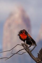 Ol (eMinte) Tags: aves awasi sturnellaloyca loica loyva loyca torresdelpaine patagonia avesdechile