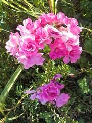 017 (en-ri) Tags: roselline little roses sony sonysti cespuglio