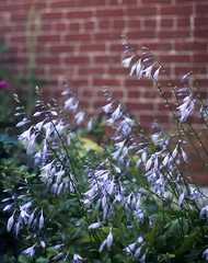 (maxwell.arnold) Tags: flowers brick nature garden vivid buds pedals bud secretgarden flowercolors