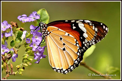 2428 -  plain tiger butterfly (chandrasekaran a 560k + views .Thanks to visits) Tags: india nature canon butterfly ngc insects chennai plaintiger thegalaxy 60d