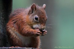 Red Squirrel (AMKs_Photos) Tags: red heritage canon photography eos scotland squirrel natural forestry scottish postcode 7d commission huntly peregrine vulgaris amk sciurus wildwatch amksphotos ab54 4tj ab544tj