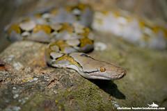 Reticulated Python (Python reticulatus) - Tanjong Jara, Malaysia-7 (Christian Loader) Tags: reptile snake malaysia python reticulated tanjongjara tanjungjara christianloader scubazooimages
