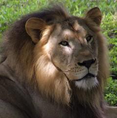 The King's Kind Eyes (PelicanPete) Tags: male beauty unitedstates lion bigcats mane southflorida miamiflorida shadetree zoomiami missionstatementtoencourageanappreciationfortheworldswildlifeandtohelpconserveitforfuturegenerations